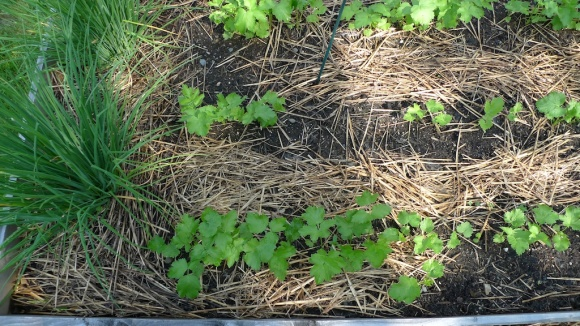 Young parsnips. Chives to the left.