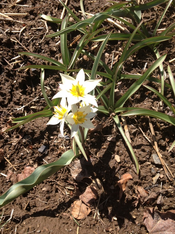 First flower up in spring and I can't remember what it is.