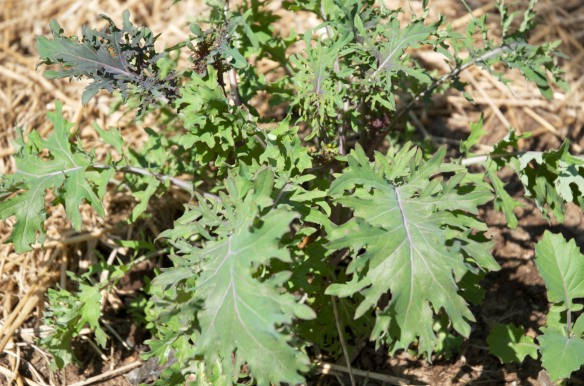 Last yea's kale sprouting up new delicious leaves.