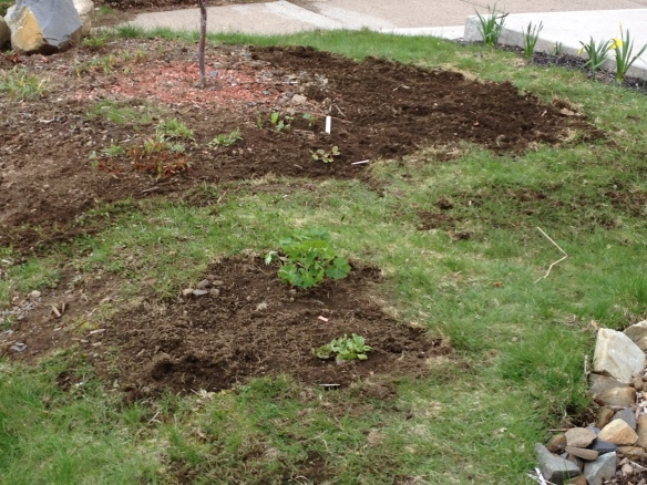 Front yard, lawn is slowly being replaced with various types of ground cover.