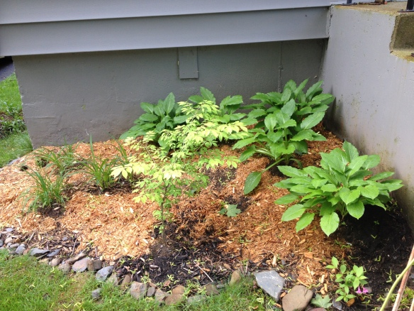 The hostas from Ed that I planted last year.