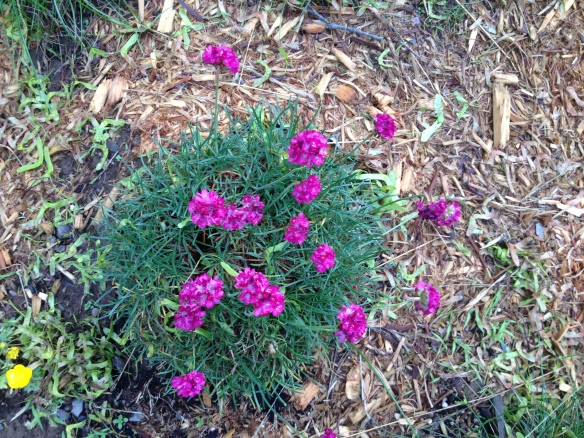 Also from Ed last fall. First blooms of Thrift. At least first in our yard.