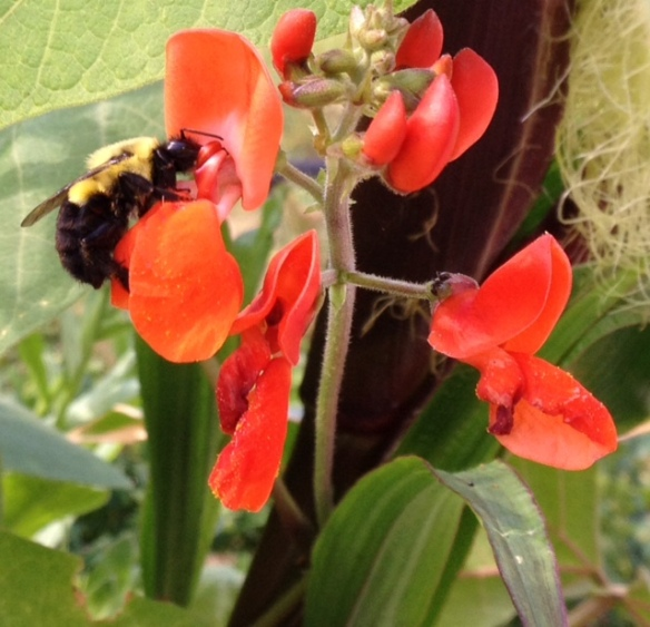 Bee on Scarlet Runner