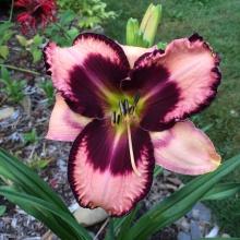 Daylily bloom #1 Nikki Jabour Daylily