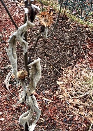 coneflower detritus