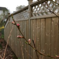 First peach buds!