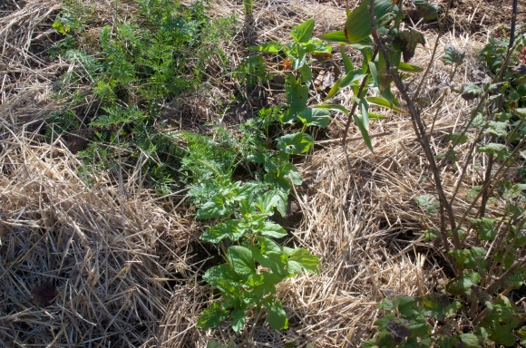 Good King Henry spinach in between a row of carrots and a Saskatoon berry bush.