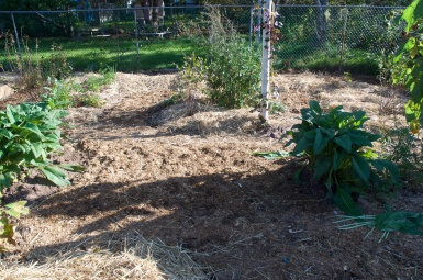 Closer view of the horse manure turned to mulch.