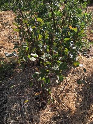 Saskatoon berry newly planted.