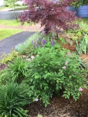 Front looking toward street. Lilacs, lupins, lilies, irises, Japanese Maple.