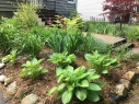Hostas and lilies, front garden.