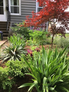 From the street to the house. Japanese Maple, Irises, Yucca, etc