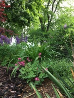 Front garden. Bleeding heart, lupins, various ground cover and trees.