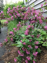 Weigela tree from my neighbour on the infamous side garden.